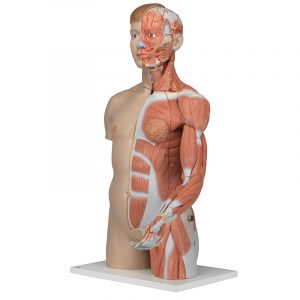 Life size Dual Sex Torso With Muscle Arm 33 Part
