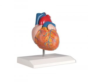 Heart Model 2 Parts Life Size