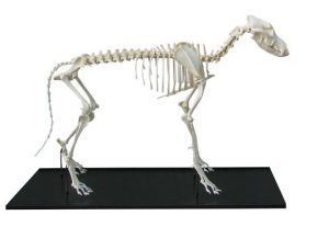 Dog Skeleton Assembled Middle Size Dog